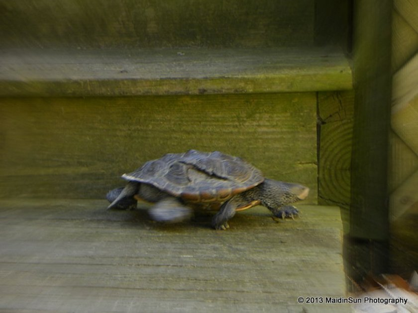 Do you think turtles are slow?  They can really put on some speed when they want to.
