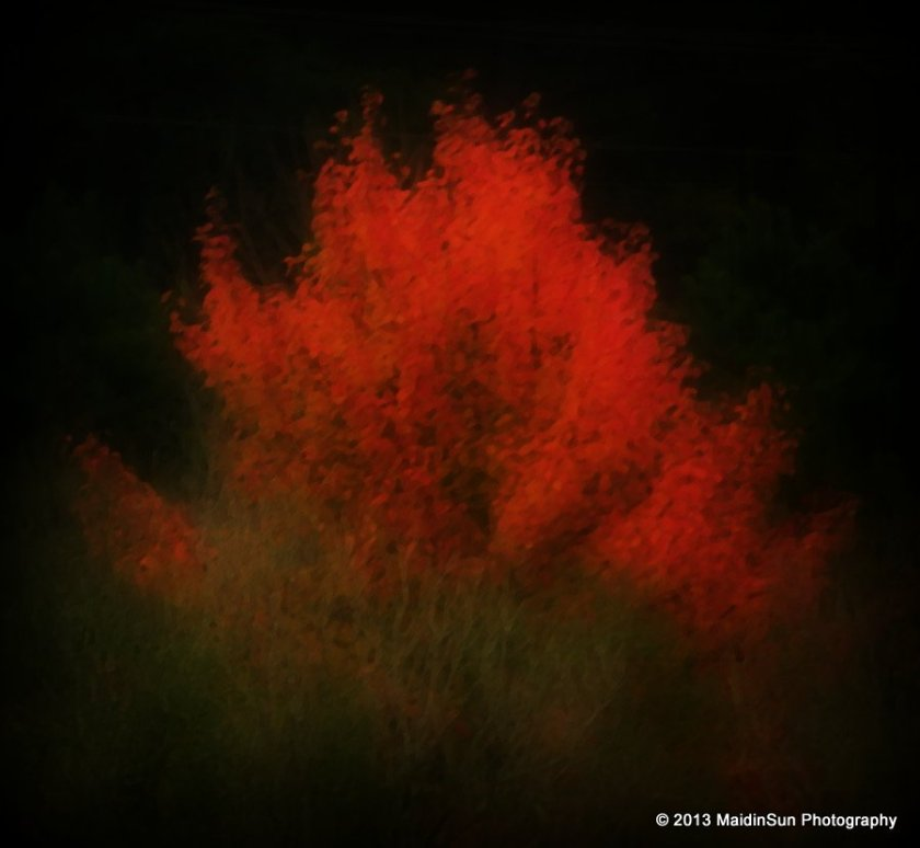 Sweet gum tree flaming in the meadow