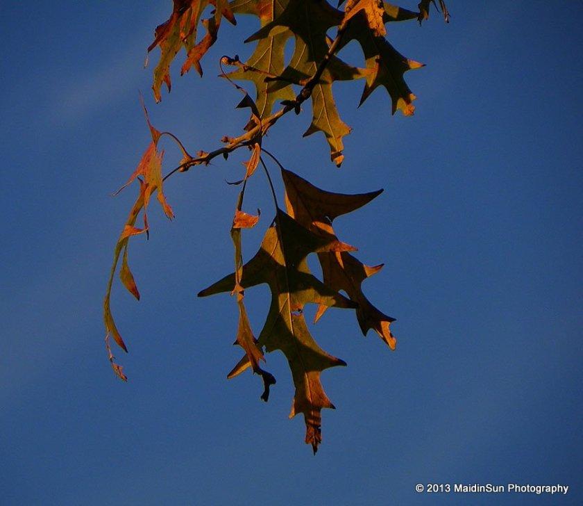 Sunset on oak leaves