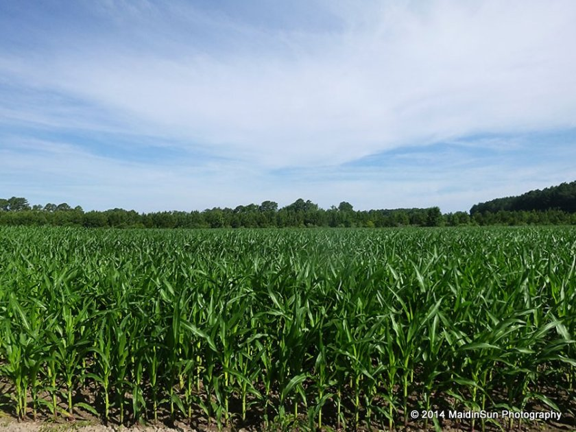 The corn was taller than knee-high before the 4th of July.