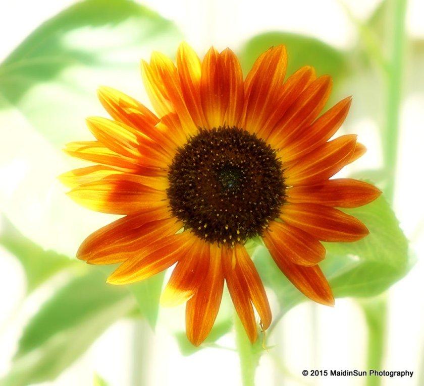 Shiny happy sunflower.